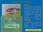 pasador liriomyza sp