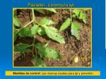 pasador liriomyza sp1