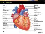 heart chambers1