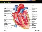 heart chambers2