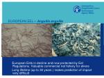 european eel anguilla anguilla