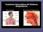 anatom a descriptiva del sistema respiratorio