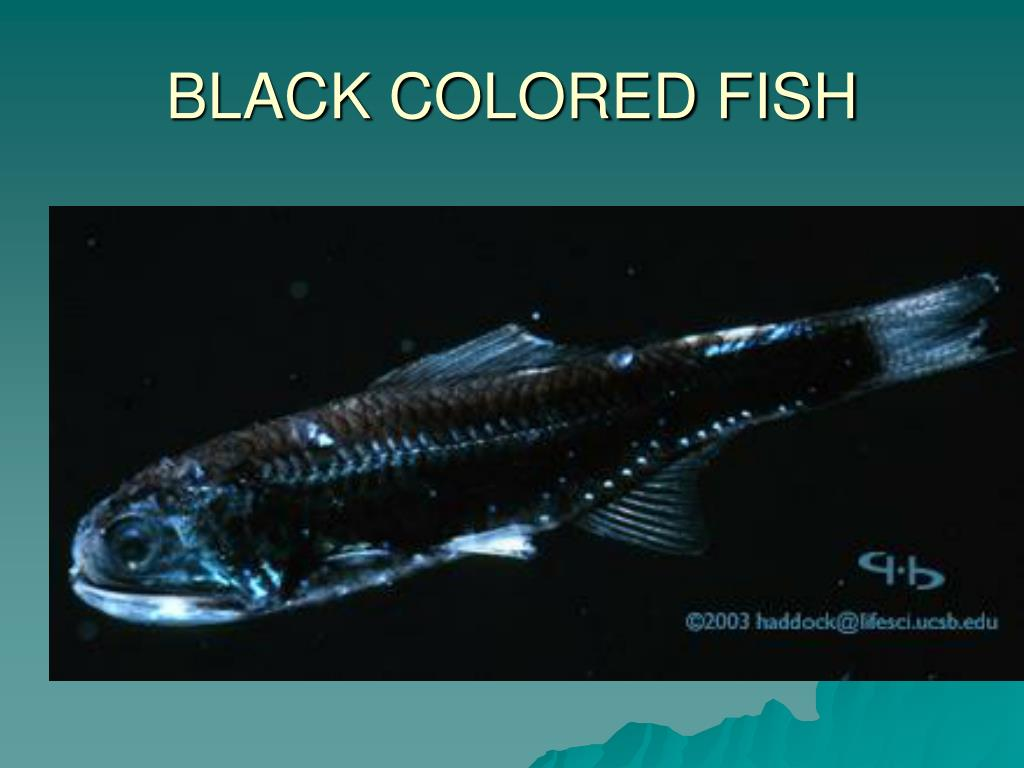 BLACK COLORED FISH
