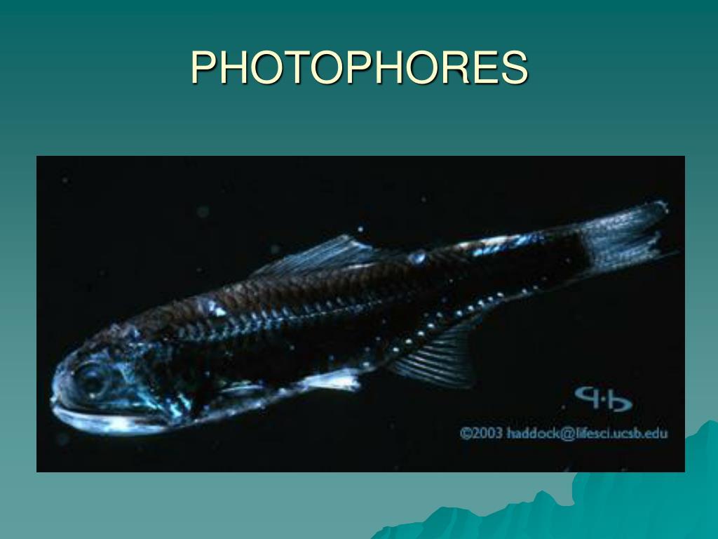 PHOTOPHORES