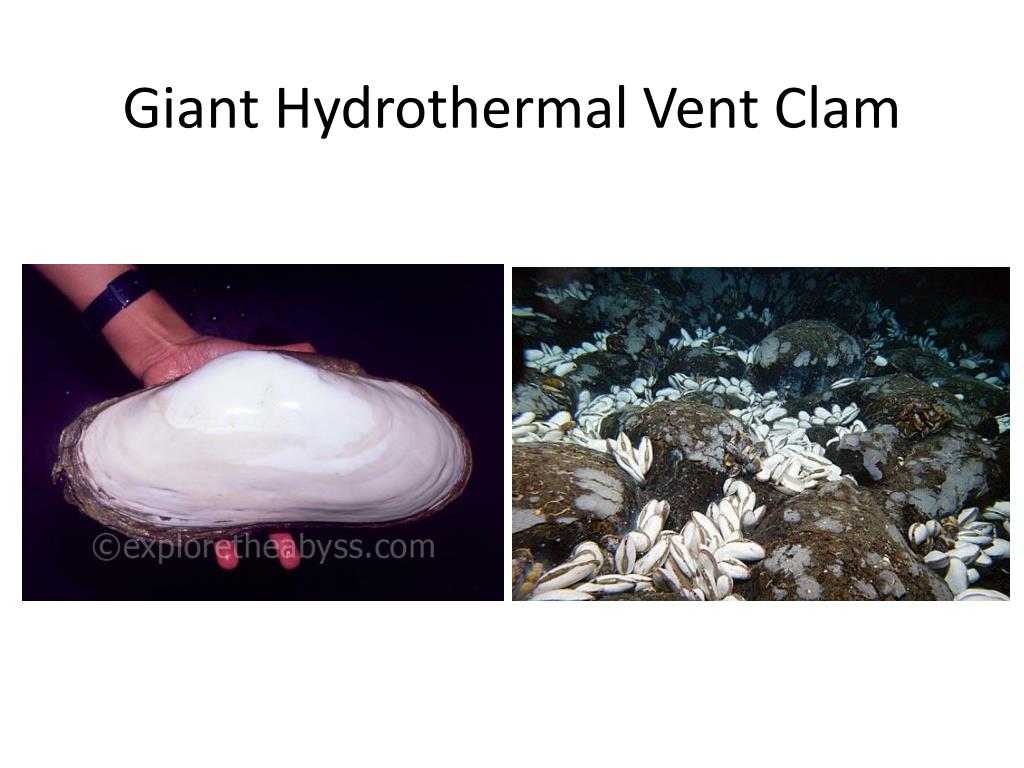 Giant Hydrothermal Vent Clam