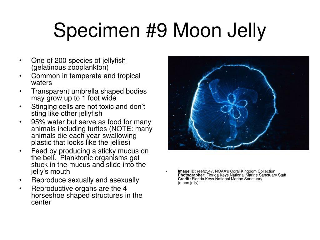Specimen #9 Moon Jelly