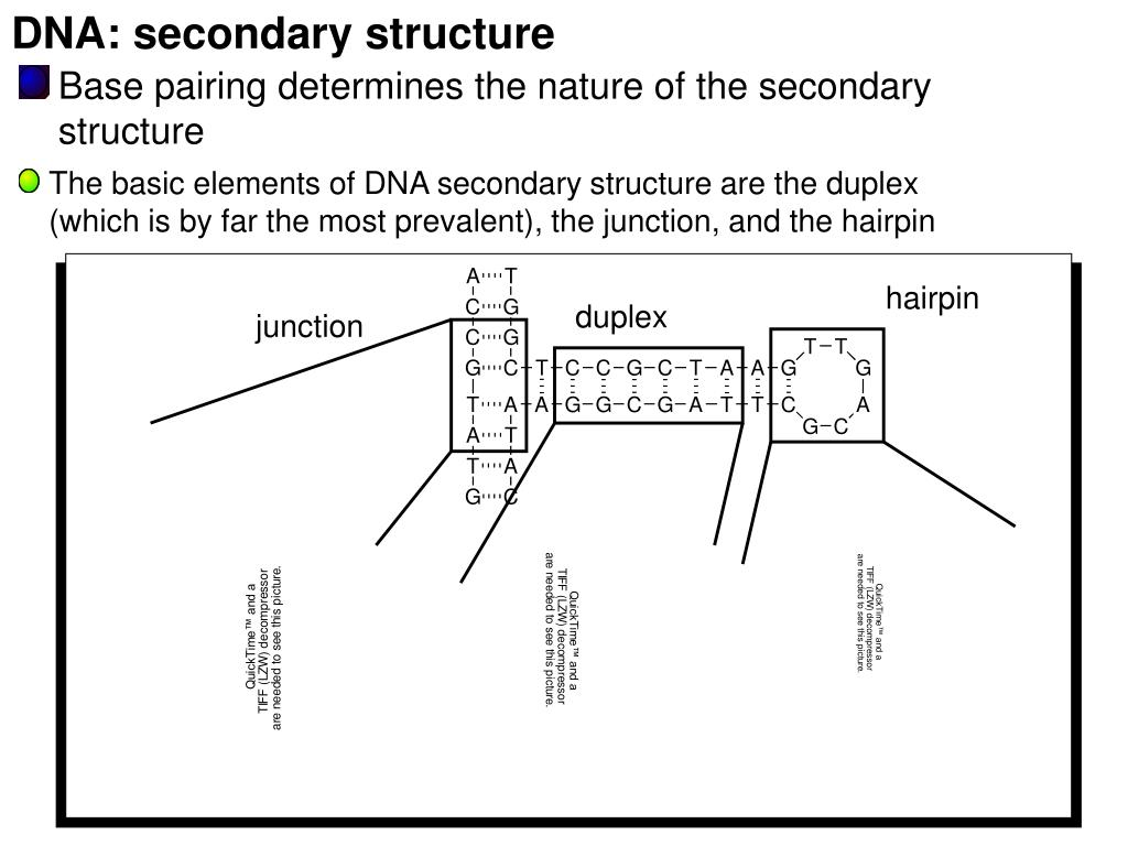 DNA: secondary structure