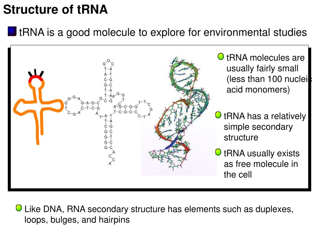 Structure of tRNA