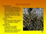 gnetopsida