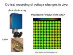 optical recording of voltage changes in vivo