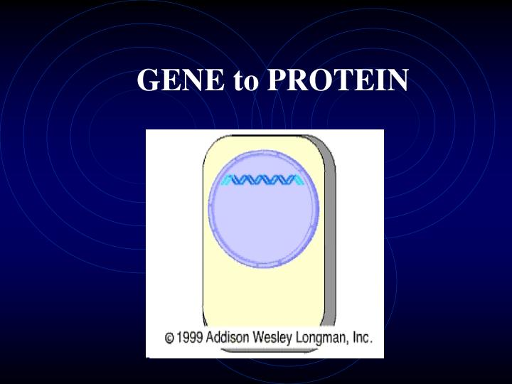gene to protein n.