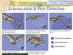 echolocation prey detection