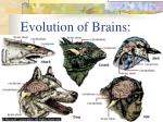 evolution of brains