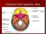 cranium from superior view