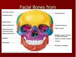 facial bones from