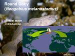 round goby neogobius melanostomus1