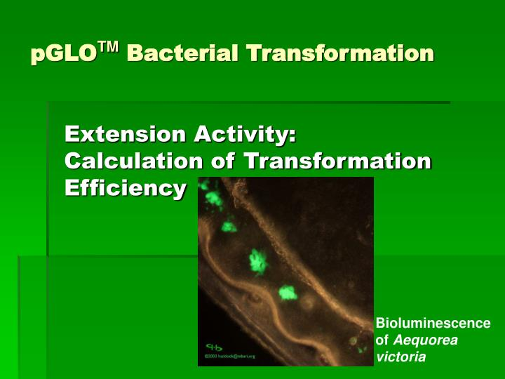 pglo tm bacterial transformation n.