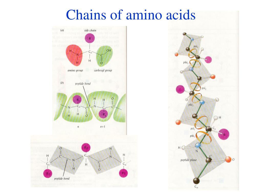 Chains of amino acids