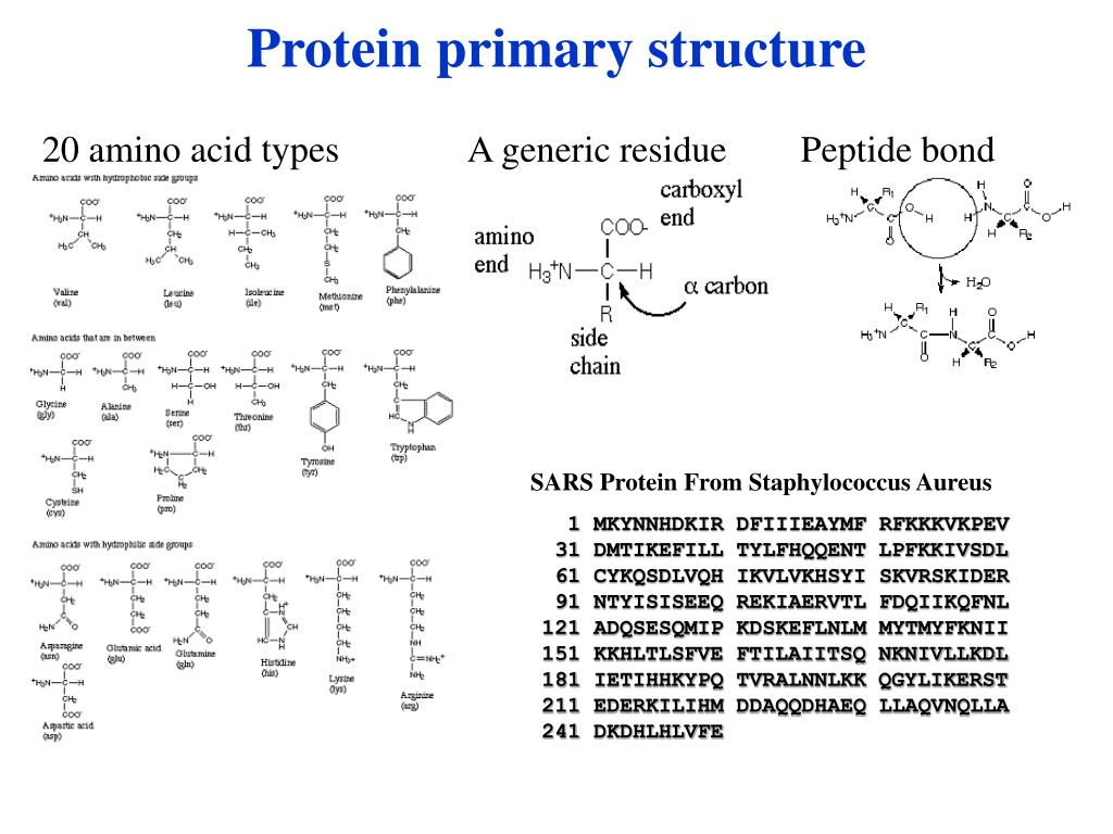 Protein primary structure