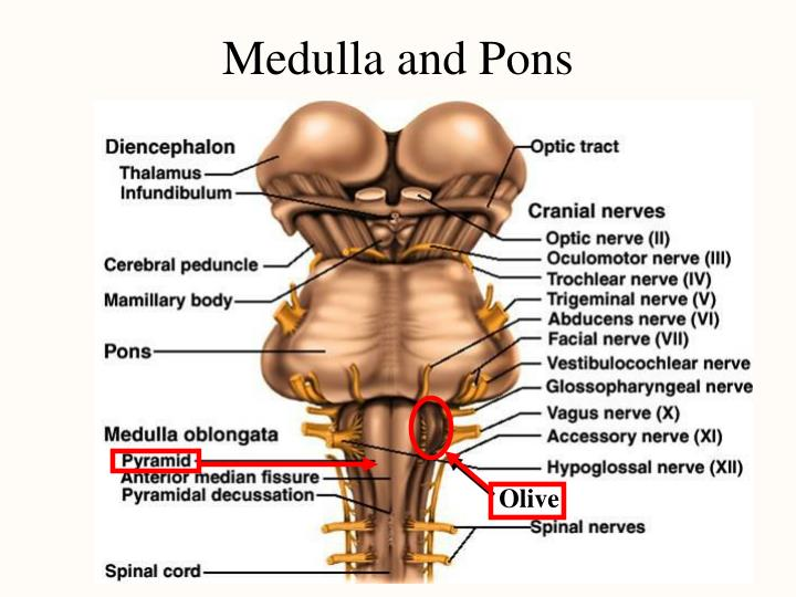 Medulla and Pons
