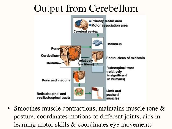 Output from Cerebellum