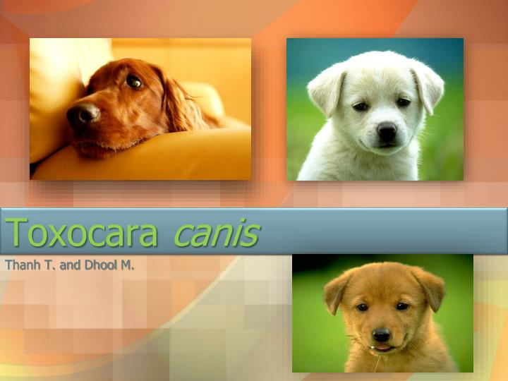 toxocara canis n.