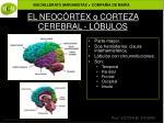 el neoc rtex o corteza cerebral l bulos