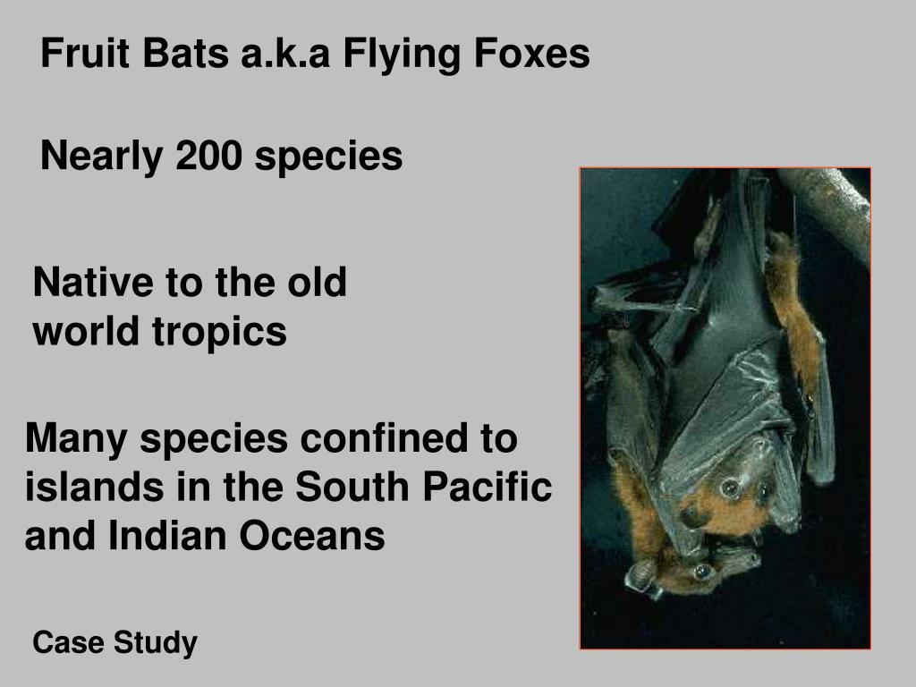 Fruit Bats a.k.a Flying Foxes