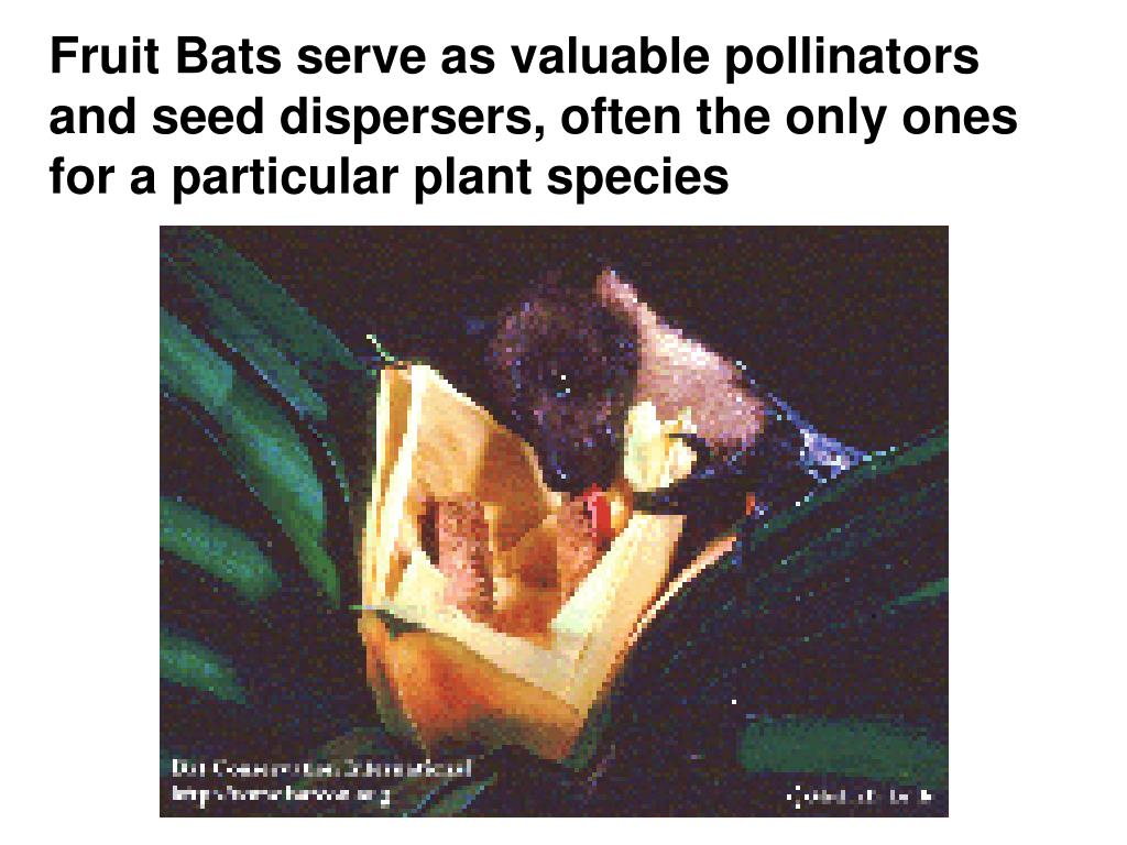 Fruit Bats serve as valuable pollinators and seed dispersers, often the only ones for a particular plant species
