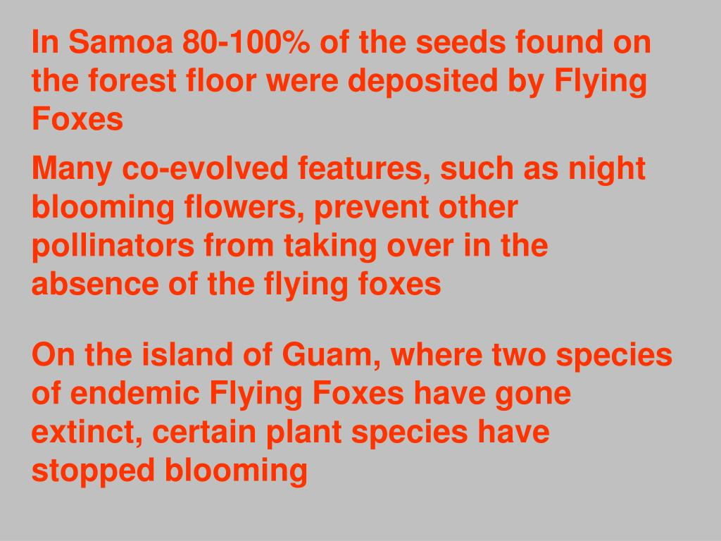 In Samoa 80-100% of the seeds found on the forest floor were deposited by Flying Foxes