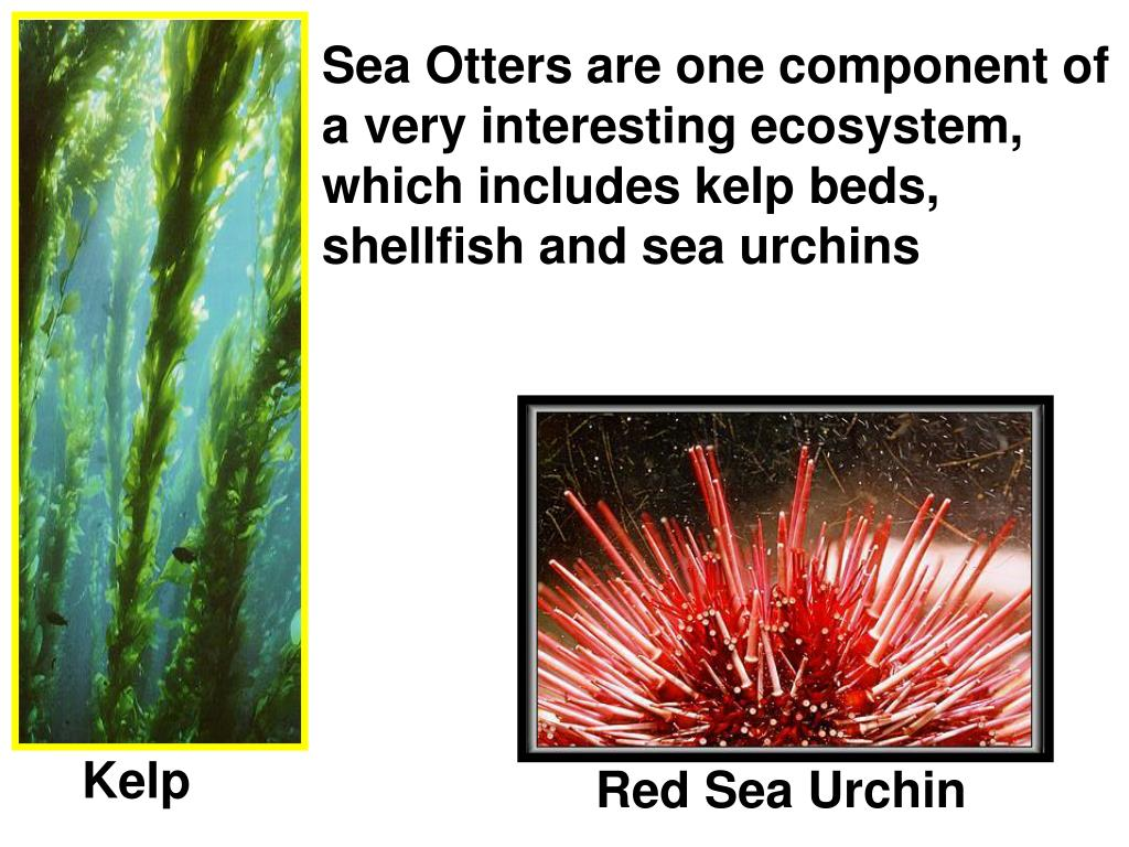 Sea Otters are one component of a very interesting ecosystem, which includes kelp beds, shellfish and sea urchins