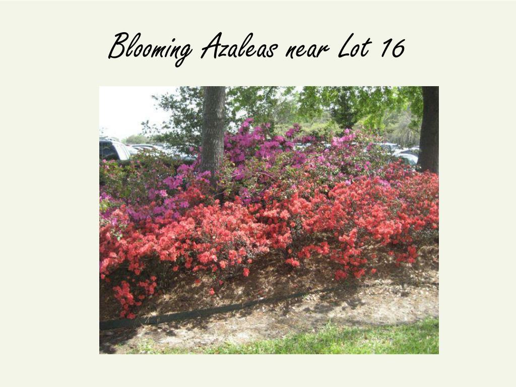 Blooming Azaleas near Lot 16