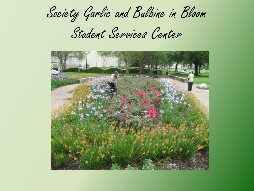 Society Garlic and Bulbine in Bloom
