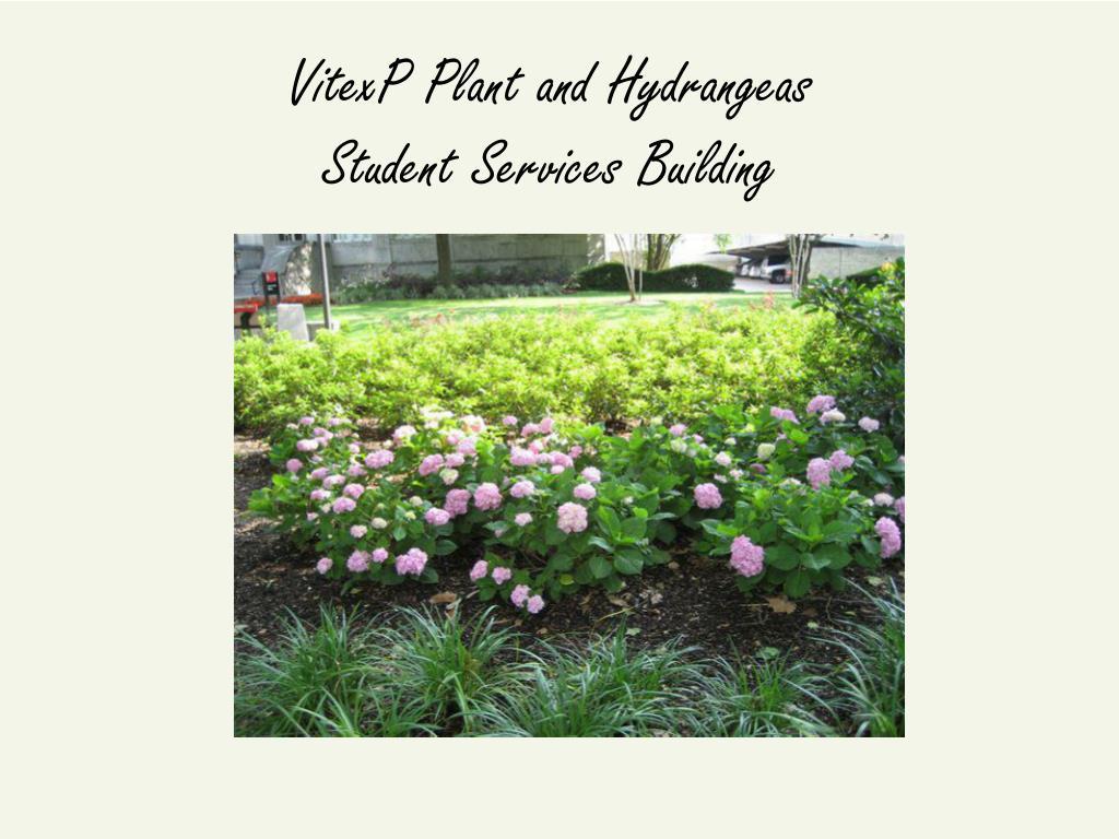 VitexP Plant and Hydrangeas