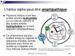 l h lice alpha peut tre amphipathique