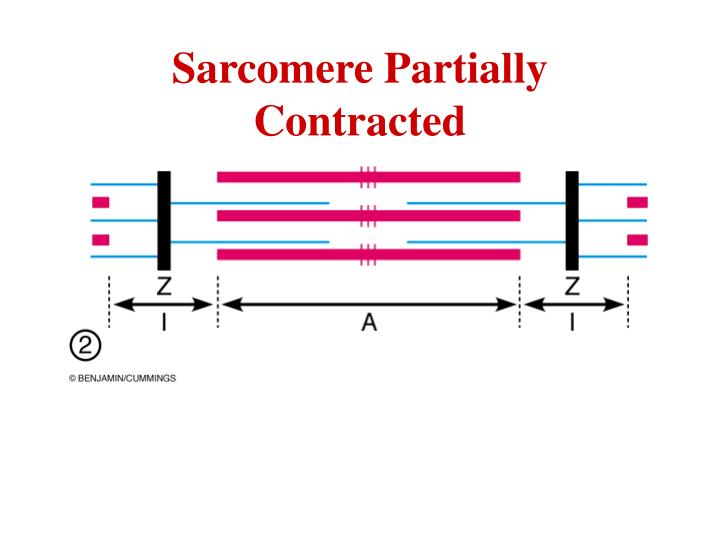 Sarcomere Partially Contracted