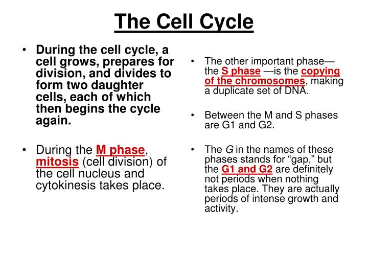 During the cell cycle, a cell grows, prepares for division, and divides to form two daughter cells, each of which then begins the cycle again.