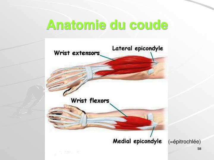 Anatomie du coude