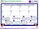 stages of meiosis activity