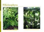 filicinophyta