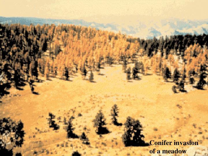 Conifer invasion