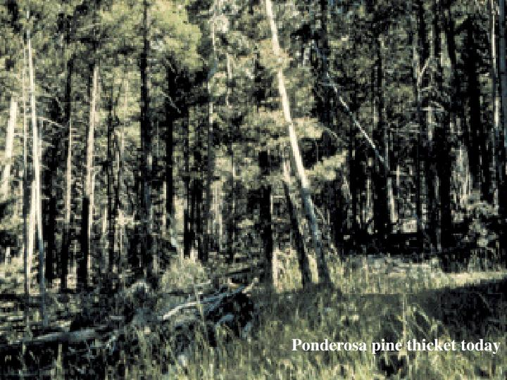 Ponderosa pine thicket today