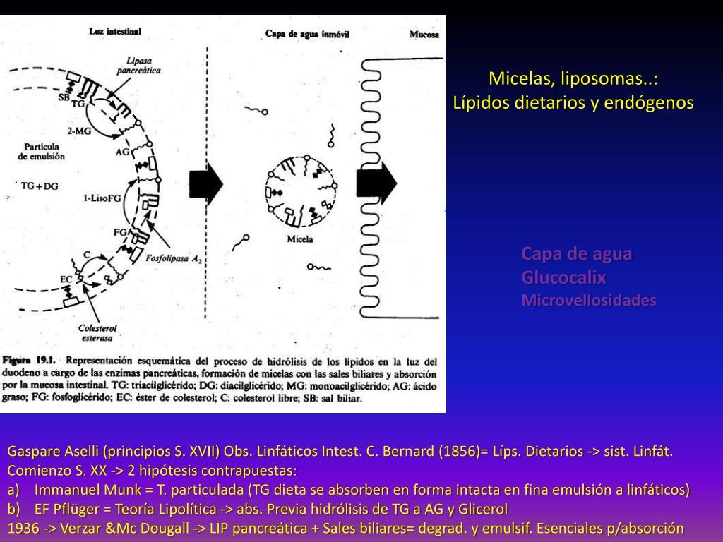 PPT - METABOLISMO DE LÍPIDOS PowerPoint Presentation, free..