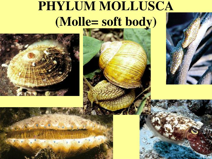 Phylum mollusca molle soft body