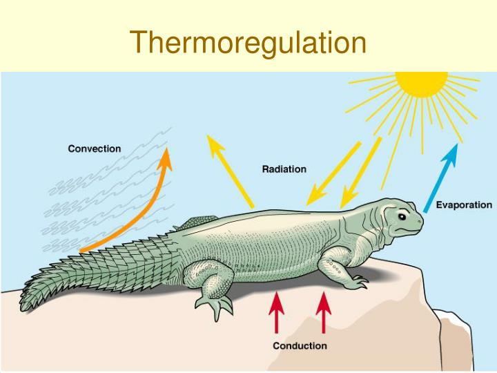 simulated thermoregulation in endotherms and ectotherms Thermoregulation thermal strategies the terms ectotherm and endotherm distinguish animals by the physiological mechanisms that determine t b homeothermy.