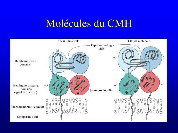 Molécules du CMH
