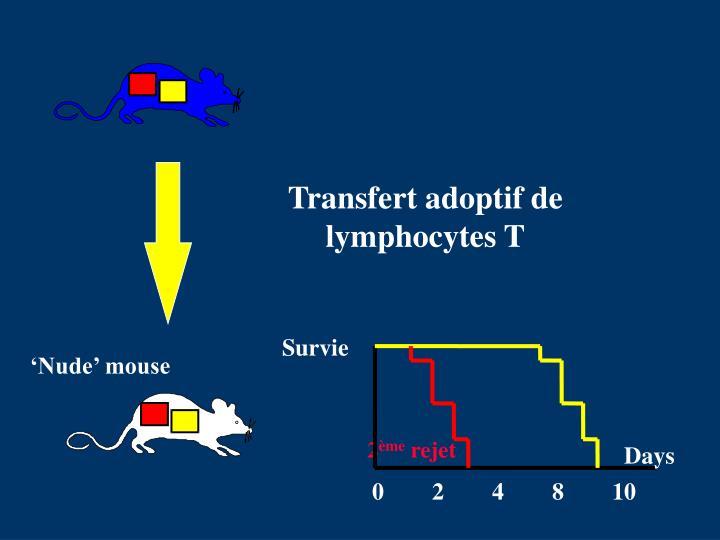 Transfert adoptif de lymphocytes T