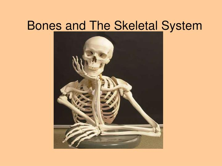 bones and the skeletal system n.