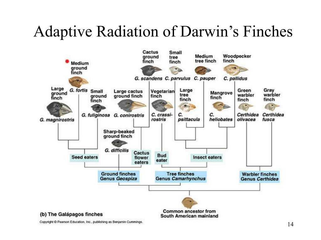 Adaptive Radiation of Darwin's Finches