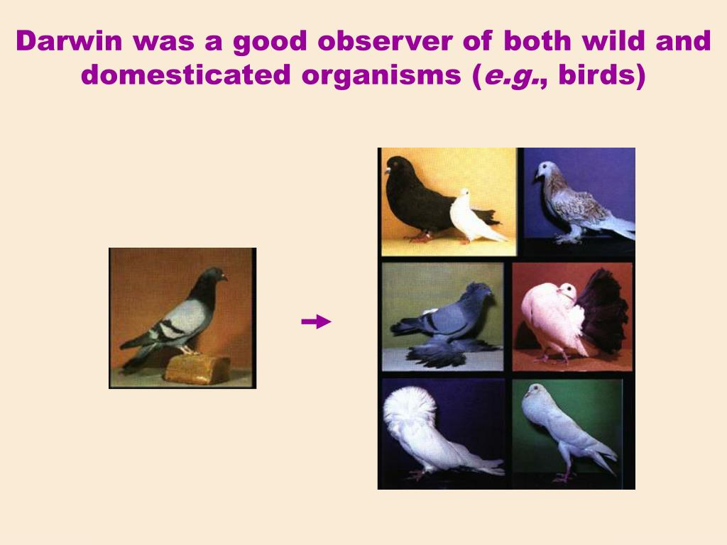 Darwin was a good observer of both wild and domesticated organisms (